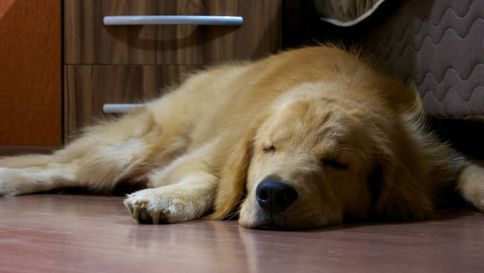 Discover These Apartment Friendly Big Dogs