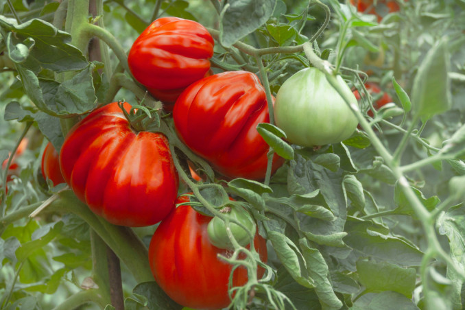 How To Grow The Beefsteak Tomato: 12 Useful Tips